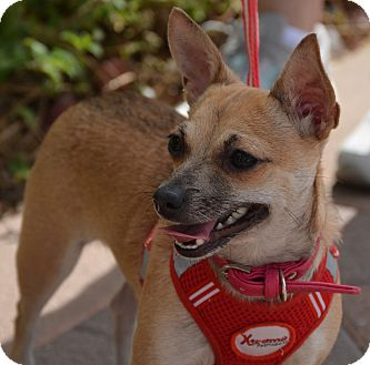 Chihuahua Mix Dog for adoption in Phoenix, Arizona - Jazzy