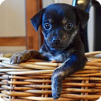 Chihuahua Mix Puppy for adoption in CUMMING, Georgia - Maddie
