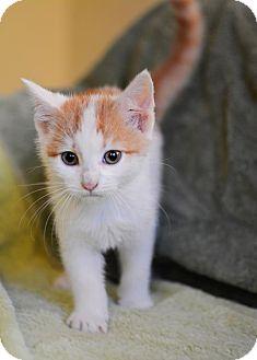 Domestic Shorthair Kitten for adoption in Calgary, Alberta - Two Bit