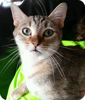 Domestic Shorthair Cat for adoption in Indianapolis, Indiana - Sassy