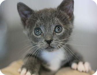 Domestic Shorthair Kitten for adoption in Canoga Park, California - Keanu