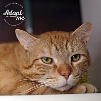 Adopt A Pet :: Chester Cheeta - Lyons, NY