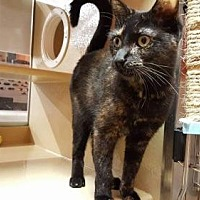 Domestic Shorthair Cat for adoption in Missouri City, Texas - Tanya MC
