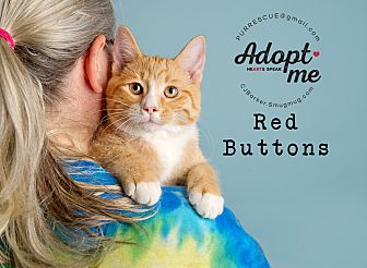 Domestic Shorthair Kitten for adoption in Pearland, Texas - Red Buttons
