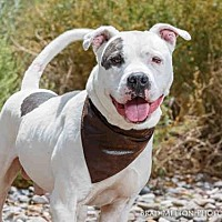 Adopt A Pet :: DEUCE - Albuquerque, NM