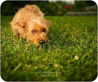 Dachshund/Terrier (Unknown Type, Small) Mix Dog for adoption in Ile-Perrot, Quebec - GAIA