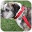 Photo 1 - English Bulldog Dog for adoption in Park Ridge, Illinois - China