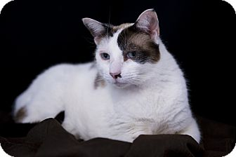Siamese Cat for adoption in El Cajon, California - Patches