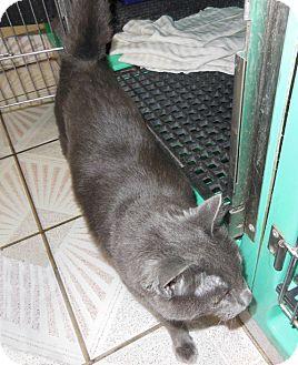 Russian Blue Cat for adoption in Laguna Woods, California - Grey Bear