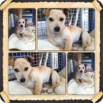 Dachshund/Chihuahua Mix Puppy for adoption in Yerington, Nevada - Rascal