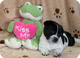 Australian Shepherd Mix Puppy for adoption in Salem, New Hampshire - Naomi