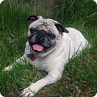 Adopt A Pet :: Meatball - Broomfield, CO
