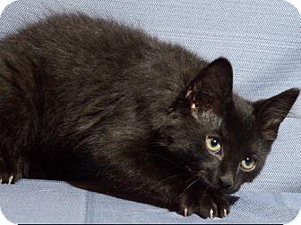 Domestic Shorthair Cat for adoption in Warren, Michigan - Midnight C
