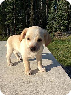Terrier (Unknown Type, Medium)/Labrador Retriever Mix Puppy for adoption in Saskatoon, Saskatchewan - Tips