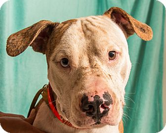 American Pit Bull Terrier Mix Dog for adoption in Martinsville, Indiana - Doogie