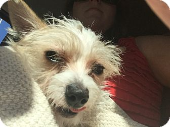 Terrier (Unknown Type, Small) Mix Puppy for adoption in Los Angeles, California - CASH