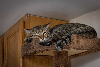 Domestic Shorthair Cat for adoption in Chicago, Illinois - Prince Naseem