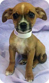 Chihuahua/Beagle Mix Puppy for adoption in Gahanna, Ohio - ADOPTED!!!   Savannah