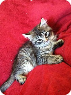 Maine Coon Kitten for adoption in Sterling Heights, Michigan - Litter 15