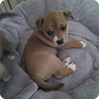 Adopt A Pet :: Thumper - Torrance, CA