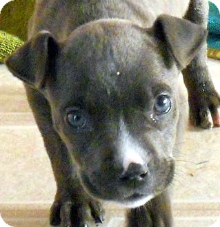 Pit Bull Terrier/Chihuahua Mix Puppy for adoption in Oakley, California - Baby Sassafras the Pocket Pit