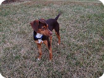 Dachshund/Beagle Mix Dog for adoption in Cincinnati, Ohio - Bow