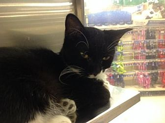 Domestic Shorthair Cat for adoption in Greenville, Delaware - Cinderella (FCID# 06/11/15-7 Coatesville Foster)