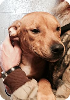 Pit Bull Terrier Mix Puppy for adoption in Greensburg, Pennsylvania - Toast