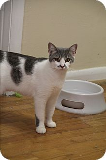 Domestic Shorthair Cat for adoption in Homewood, Alabama - Stache