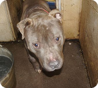 Pit Bull Terrier Mix Dog for adoption in Henderson, North Carolina - Bud*