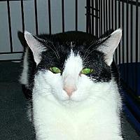 Domestic Shorthair Cat for adoption in Fenton, Missouri - ANJOU
