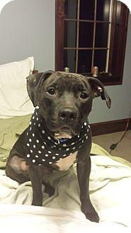 Pit Bull Terrier/Labrador Retriever Mix Dog for adoption in New York, New York - Bucky