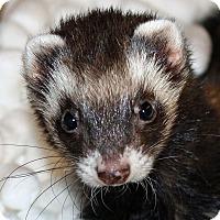 Adopt A Pet :: Farrah - Indianapolis, IN
