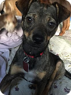 Chihuahua/Miniature Pinscher Mix Dog for adoption in Rexford, New York - Indy