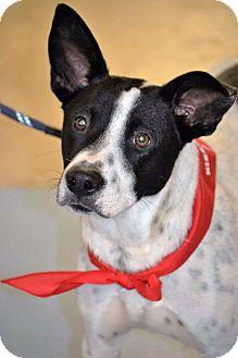Blue Heeler/Bluetick Coonhound Mix Dog for adoption in Albemarle, North Carolina - Milo