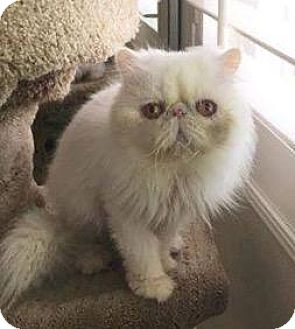 Persian Cat for adoption in Beverly Hills, California - Mikey