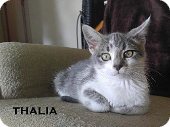Domestic Shorthair Kitten for adoption in Speedway, Indiana - Thalia