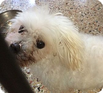 Maltese Dog for adoption in Metairie, Louisiana - HOT SHOT