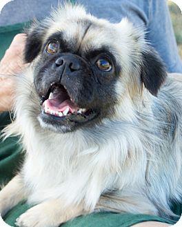 Pug/Pekingese Mix Dog for adoption in Patterson, California - Money