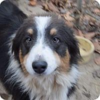 Adopt A Pet :: Cowboy - Pending - Lancaster, PA