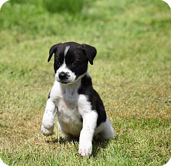 Mountain Cur Mix Puppy for adoption in Groton, Massachusetts - Mosey