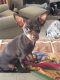 Miniature Pinscher/Chihuahua Mix Dog for adoption in Los Angeles, California - Kahlua