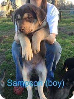 Shepherd (Unknown Type)/Labrador Retriever Mix Puppy for adoption in Providence, Rhode Island - Sampson