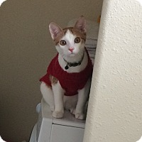 American Shorthair Cat for adoption in Houston, Texas - Willow