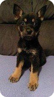 Basenji/Hound (Unknown Type) Mix Puppy for adoption in Hampton, Virginia - DAFFY