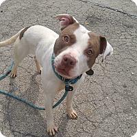 Adopt A Pet :: Lucy - Wheaton, IL