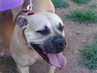 Boxer Mix Dog for adoption in Joshua, Texas - Molly