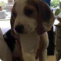 Adopt A Pet :: Alfalfa - Georgetown, KY