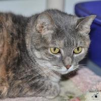 Domestic Shorthair/Domestic Shorthair Mix Cat for adoption in Ottumwa, Iowa - Poofcat