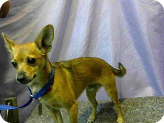 Chihuahua Mix Dog for adoption in San Bernardino, California - URGENT on 8/9@DEVORE SanBern